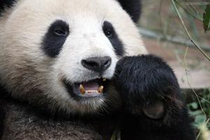 熊猫牙疼:萌护齿,iTooth